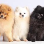 """""""le Village de Race est un exercice inhabituel au service de la promotion du chien de race, à la différence des expositions canines où seule la compétition compte. """""""