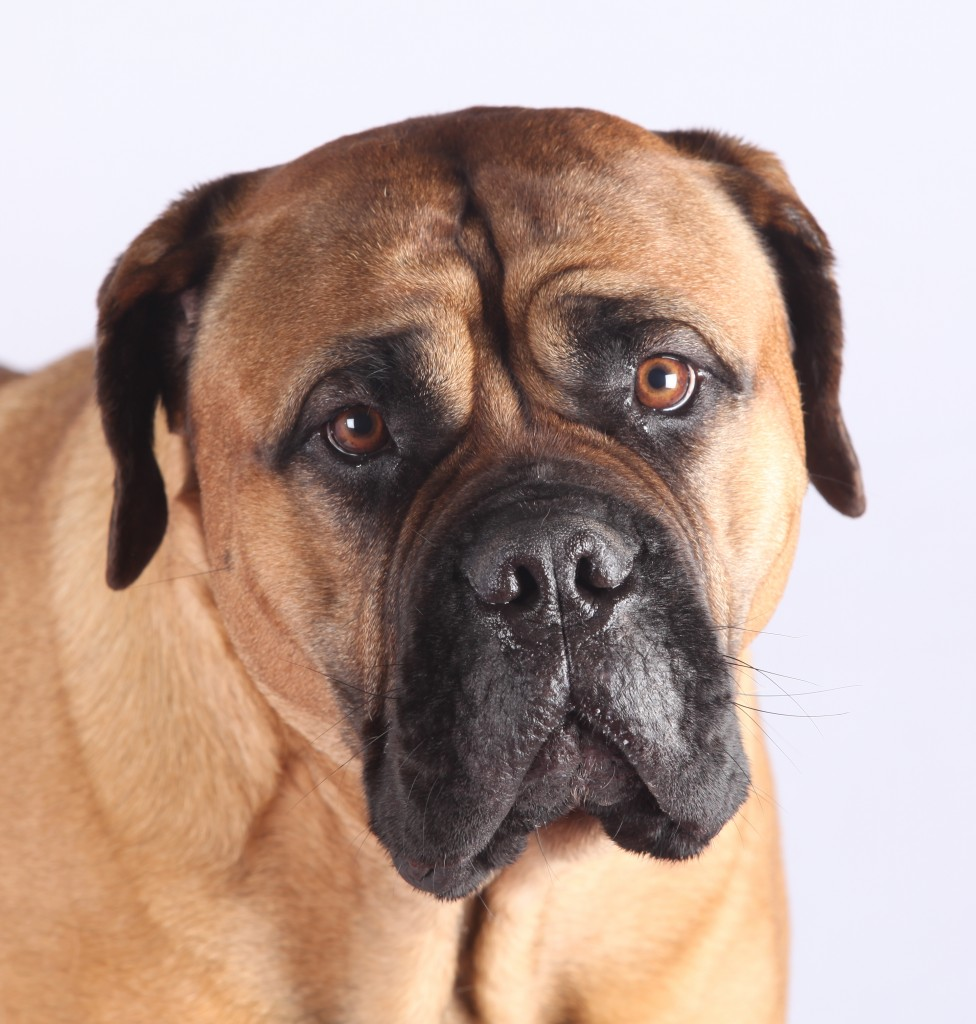 Nationale du club du Mastiff et Bullmastiff